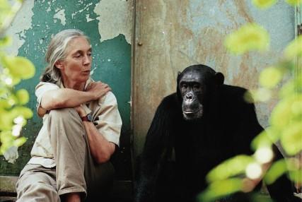 Jane Goodall with Gombe chimpanzee Freud