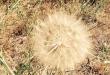 Dandelion/Kimberly Burnham - SpokaneFAVS