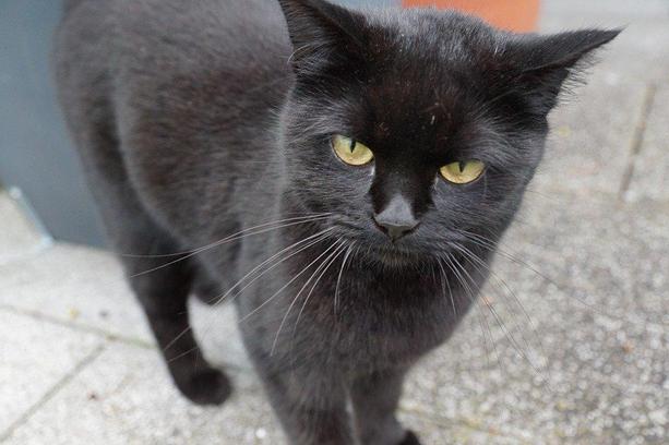 Cat, Black, Halloween, Superstition, Young, Mieze, Pet